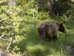 Grizzly at Yellowstone National Park. Photo Credit: Gene Hailson.