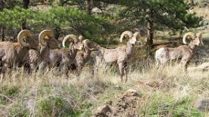 Bighorn Sheep in Estes Park, Colorado.