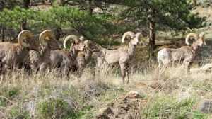 Bighorn Sheep in Estes Park, Colorado.