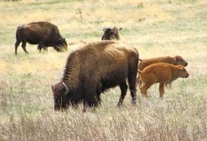 Bison in Custer State Park, South Dakota.