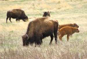Bison in Custer State Park, South Dakota.