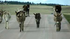 """""""Beggin' Burros"""" on Custer State Park's Wildlife Loop Road approaching our vehicle"""