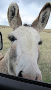 "One of the ""Beggin' Burros"" at my window looking for a handout"