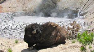 Bison at the Mud Volcano.Photo Credit: Donna Hailson.