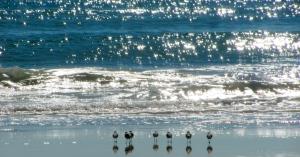 Sanderlings. Topsail Beach, North Carolina. Photo by Donna Hailson