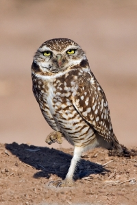 Burrowing owl Photo by Alan D. Wilson, www.naturespicsonline.com.