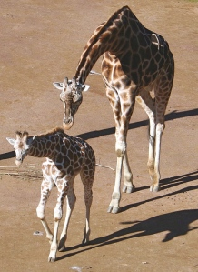 Giraffes, Auckland Zoo. Photo by Moriori.