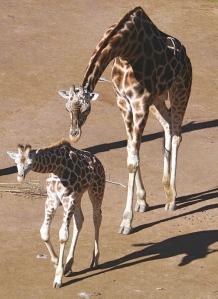 Giraffes, Auckland Zoo. Photo by Moriori.