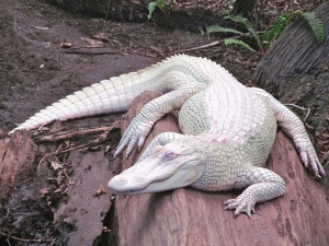 Luna is one of only 50 albino alligators known to exist in the world.