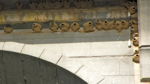 Swallow nests on the underside of the Isaac Peterson Bridge (aka the Rogue River Bridge) at Gold Beach