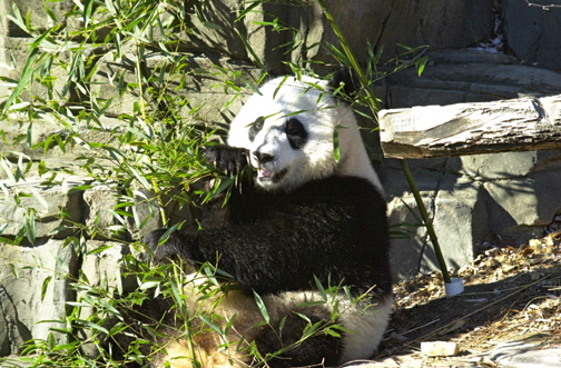 Giant Panda. Photo by Dan Rotem.