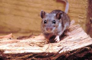 Deer Mouse. Photo by Centers for Disease Control and Prevention.