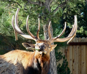 The bull elk that held us hostage while he had a snack outside our RV door.