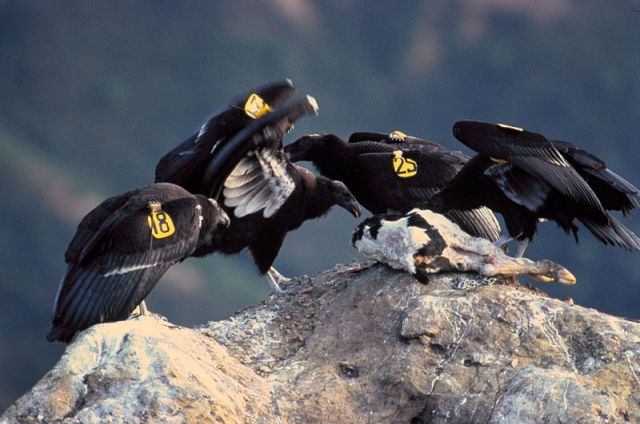 Juvenile California Condors. Photo by the U.S. Fish and Wildlife Service.