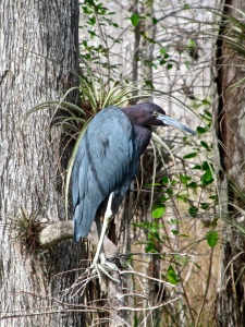 Little Blue Heron Big Cypress National Preserve, Florida