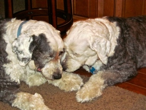 Molly spent time each day comforting Mac by licking between his eyes.