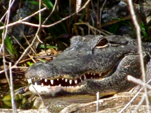 Alligator, Big Cypress National Preserve, Ochopee, Florida.