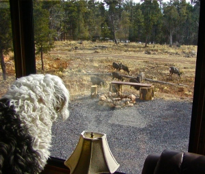 Molly watching mule deer from our window at Grand Canyon National Park.