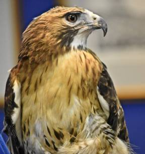 Nero, a red-tailed hawk.