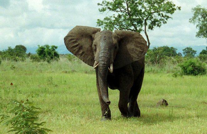 800px-African_Bush_Elephant_Mikumi